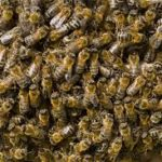 37 Million Bees Found Dead After Planting Large GMO Corn Field